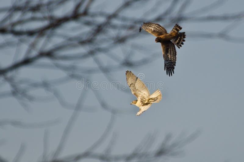 Harrier nordique et faucon Rouge-Suivi dans le combat images libres de droits