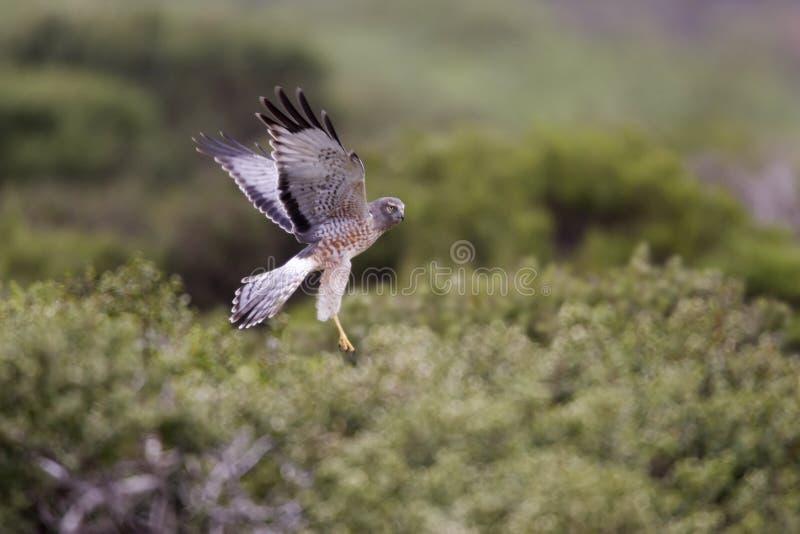 Harrier nordique (hudsonius de cyaneus de cirque) photos stock