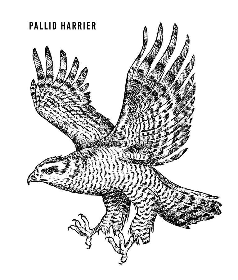 Harrier p?lido P?ssaro da floresta de rapina selvagem Estilo gr?fico tirado m?o do esbo?o Remendo da forma C?pia para o t-shirt,  ilustração royalty free