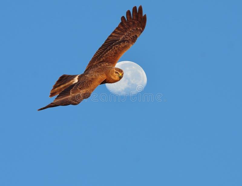 Download Harrier pie image stock. Image du ciel, aigle, chauve - 45360019