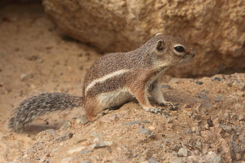 Harris Antelope Ground Squirrel (harrisii d'Ammospermophilus) photographie stock