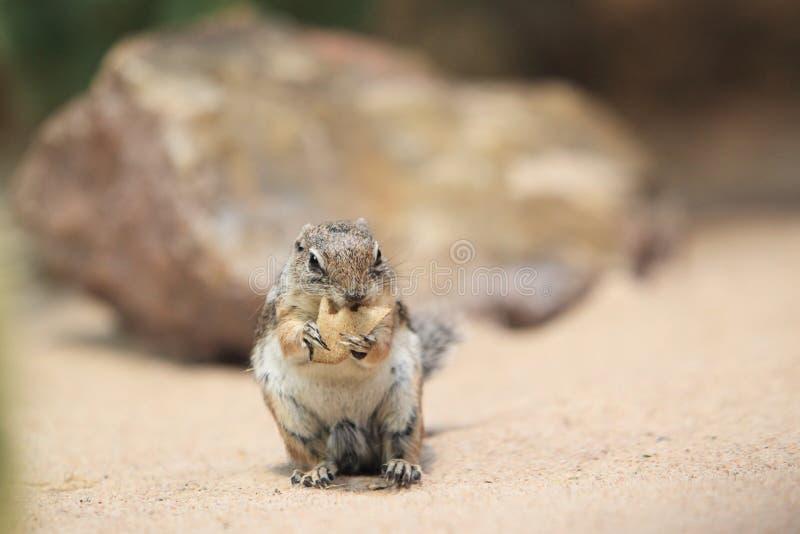 Harris Antelope Squirrel royaltyfria foton