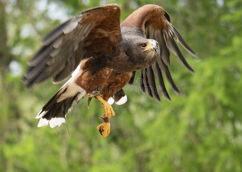 Harris hök som tar flyg royaltyfri foto