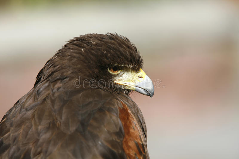 Download Harris hawk stock image. Image of harris, stare, male - 11933621