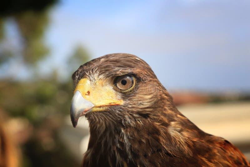 Harris Hawk stock afbeeldingen