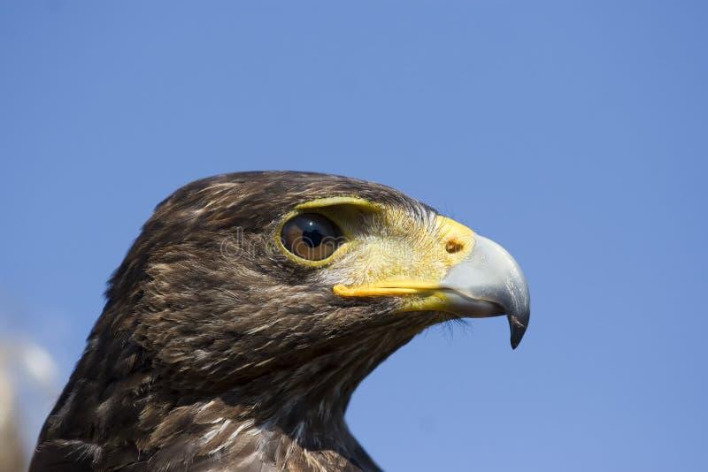 Download Harris hawk stock photo. Image of mean, eyes, raptor - 12973076