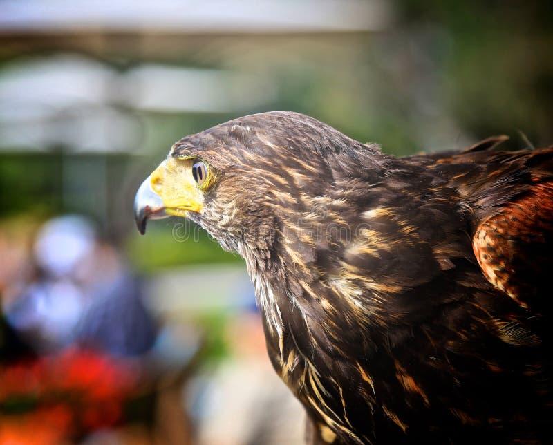 Harris Hawk royalty-vrije stock fotografie