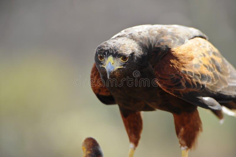 Harris Hawk Royalty Free Stock Photography