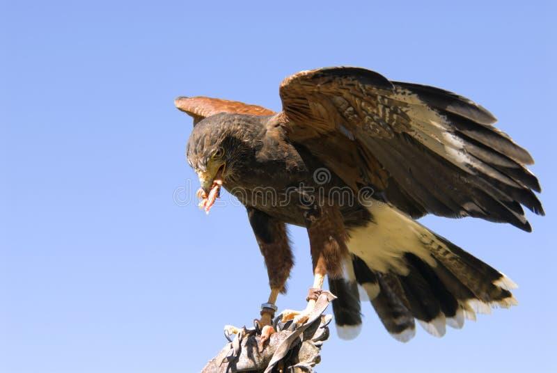 Download Harris Hawk Royalty Free Stock Photos - Image: 14279728