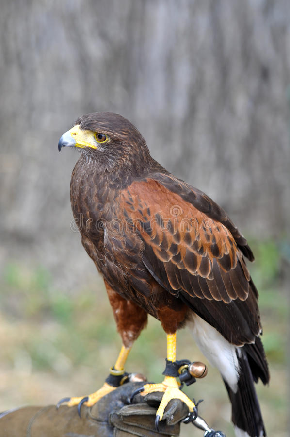 Harris Hawk. Being held by Falconer stock photography