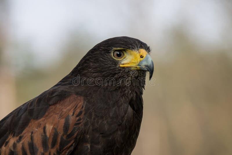 Harris Hawk royalty-vrije stock foto's
