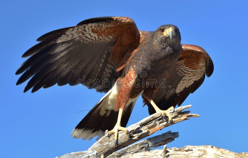 Harris Hawk royaltyfria bilder
