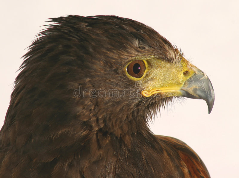 Harris' Hawk royalty free stock images