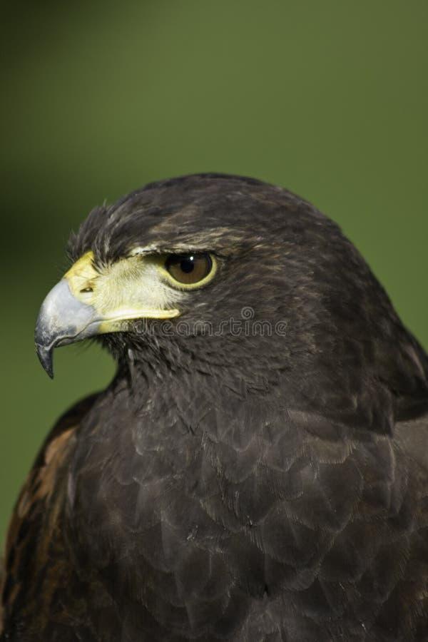 Harris Hawk stock photography