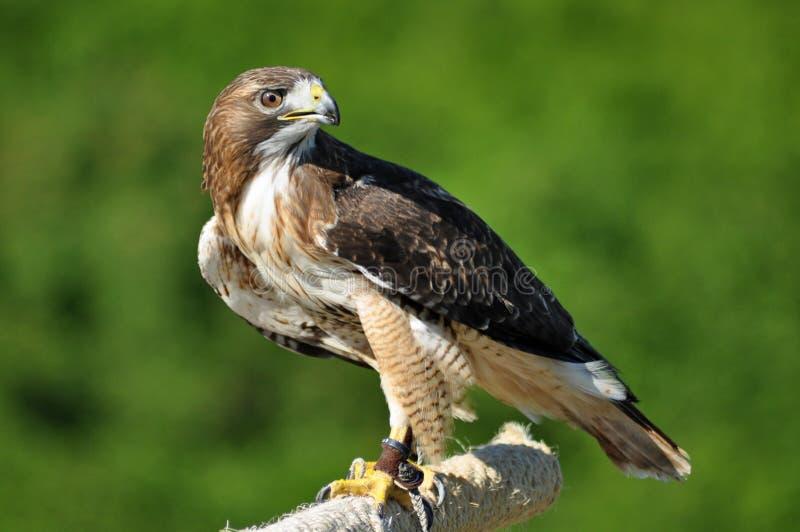 Harris Hawk, der über Schulter schaut stockbild
