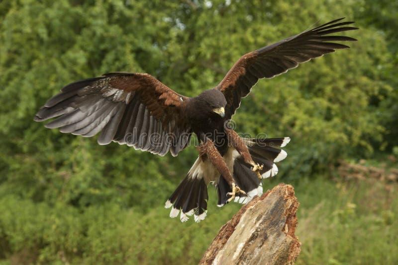 Harris Hawk - Ecuador - South America royalty free stock image