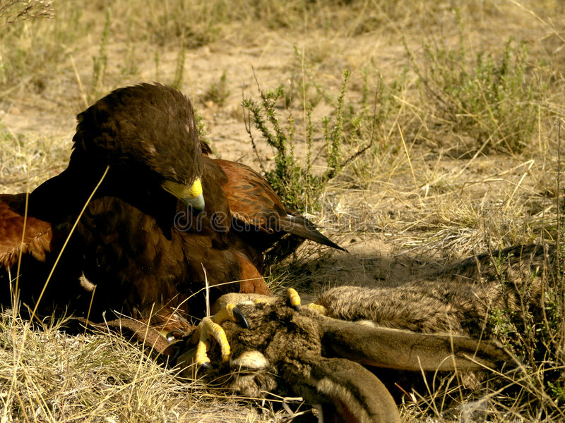Harris' Hawk Fighting Prey stock photos