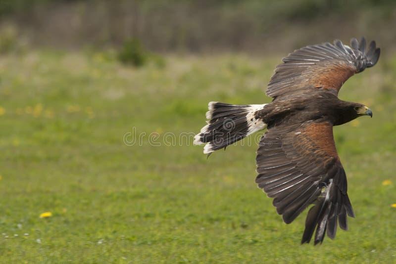 Download Harris Hawk in flight stock image. Image of raptor, hunt - 20179687