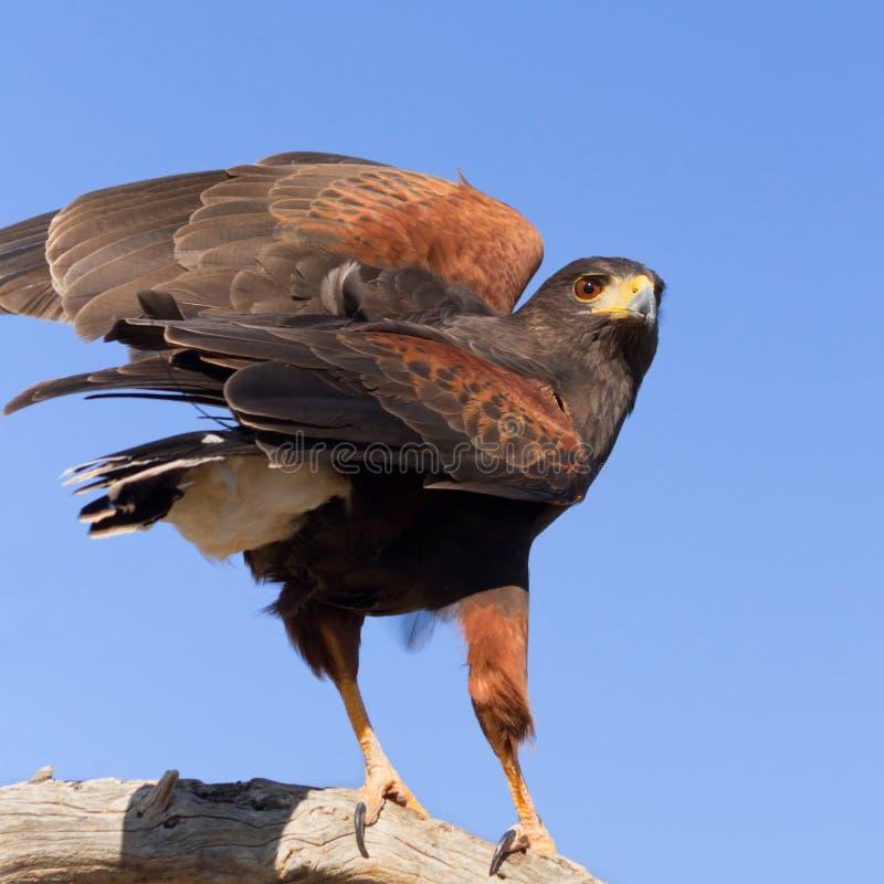 Download Harris Hawk Royalty Free Stock Image - Image: 36680816