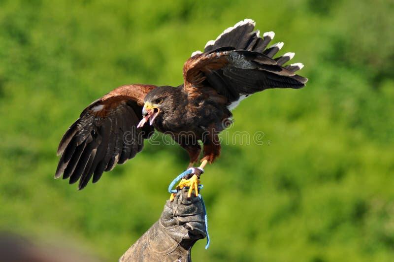 Harris Hawk med vingspridning arkivbilder