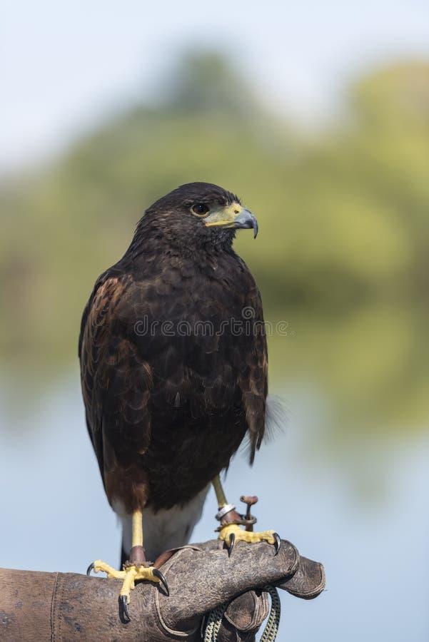 Harris Hawk Parabuteo-unicinctus royalty-vrije stock foto