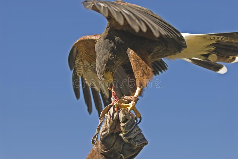 Harris Hawk (parabuteo Unicinctus) Stock Photo