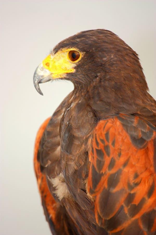 Download Harris' Hawk (Parabuteo Unicinctus) Stock Image - Image: 25784393