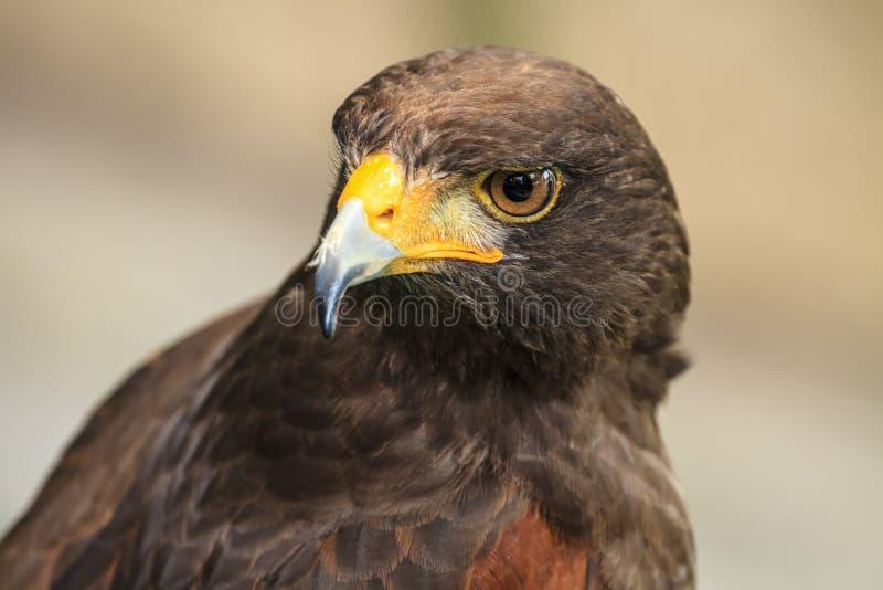 Harris Hawk (Parabuteo unicinctus) arkivfoto