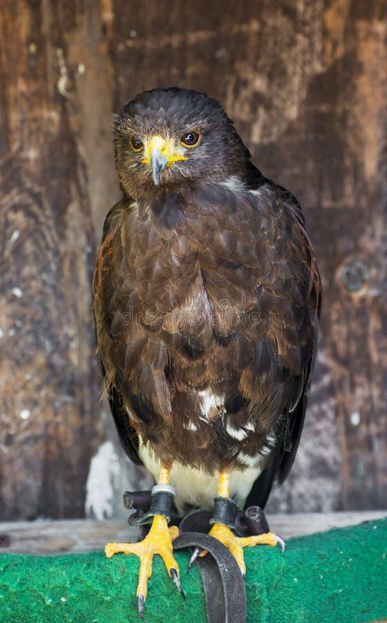 Harris Hawk (Parabuteo unicinctus) royaltyfria bilder
