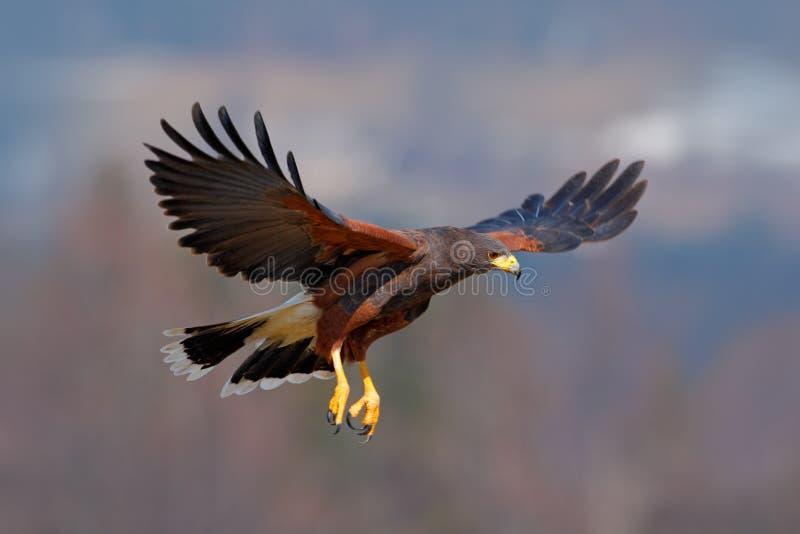Harris Hawk Parabuteo unicinctus, fågel av rovet i flykten, i livsmiljö fotografering för bildbyråer