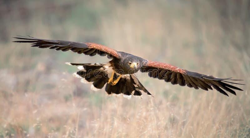 Harris Hawk, Parabuteo unicinctus in flight. Wildlife animal scene from nature. Flying bird of prey stock photos