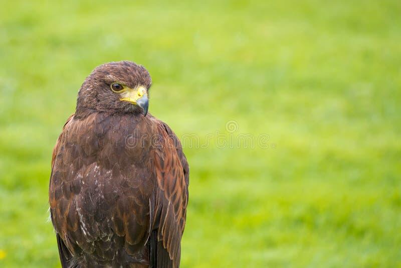 Harris Hawk, Parabuteo unicinctus. royalty free stock image