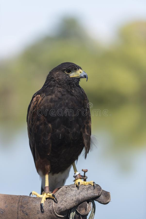 Harris Hawk Parabuteo Unicinctus royalty free stock photo