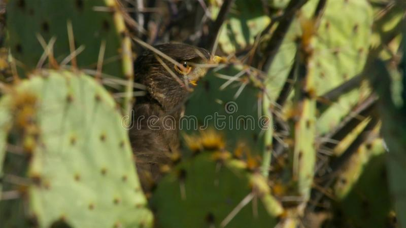 Harris Hawk Parabuteo unicinctus i Sonoraöknen Arizona, sydvästlig rovdjur fotografering för bildbyråer