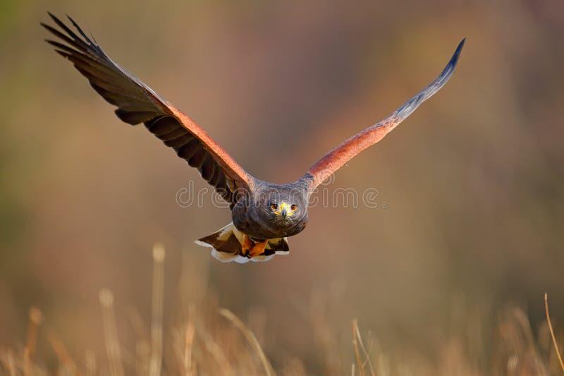 Harris Hawk Parabuteo unicinctus som landar Djur plats för djurliv från naturen Fågel framsidaflyg Flygfågel av rovet Djurlivsc royaltyfri foto