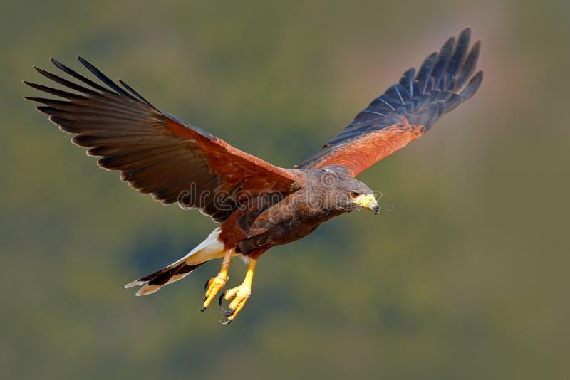 Harris Hawk Parabuteo unicinctus som landar Djur plats för djurliv från naturen fågel i fluga Flygfågel av rovet Djurlivplats fr royaltyfri bild