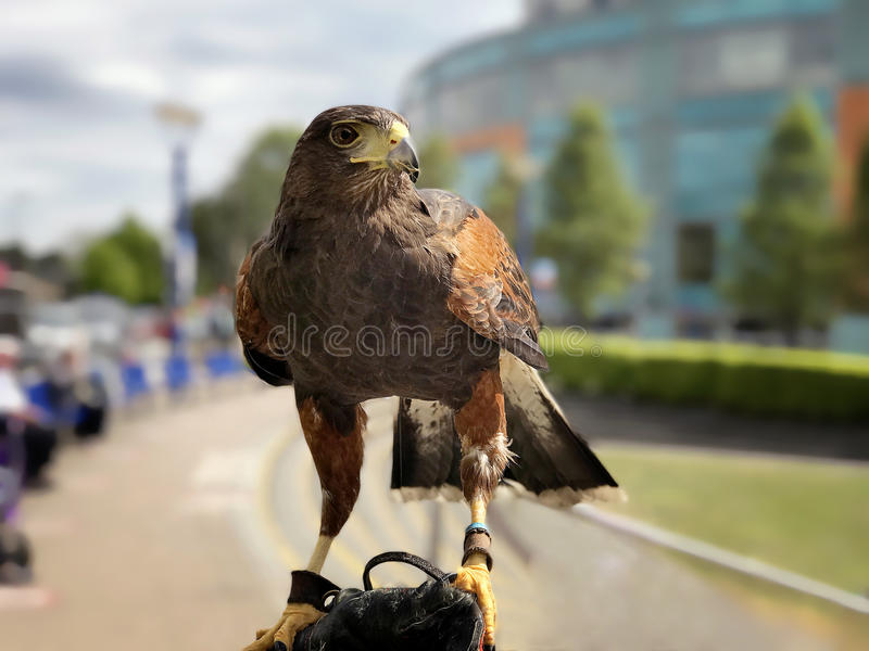 Harris Hawk. Perched on the arm of a falconer royalty free stock photo