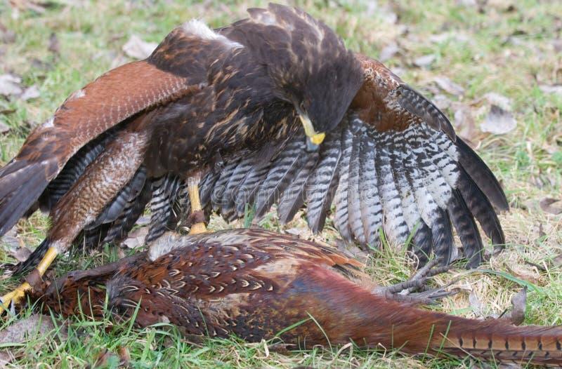 Download Harris Hawk With Pheasant Prey Stock Photo - Image: 18171434