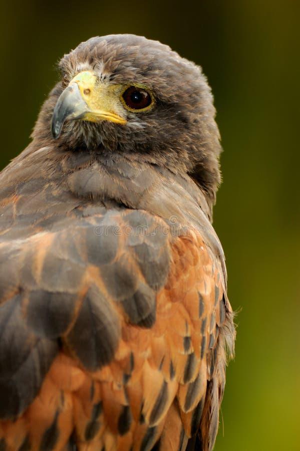 Download Harris hawk portrait stock photo. Image of unicinctus - 4784484