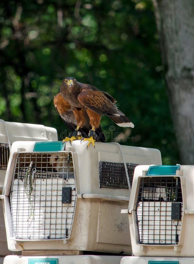 Harris Hawk sur des transporteurs d'oiseau photographie stock libre de droits