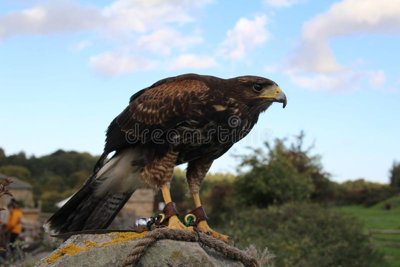 Harris Hawk. Tame Harris Hawk used for hunting by a falconer stock image