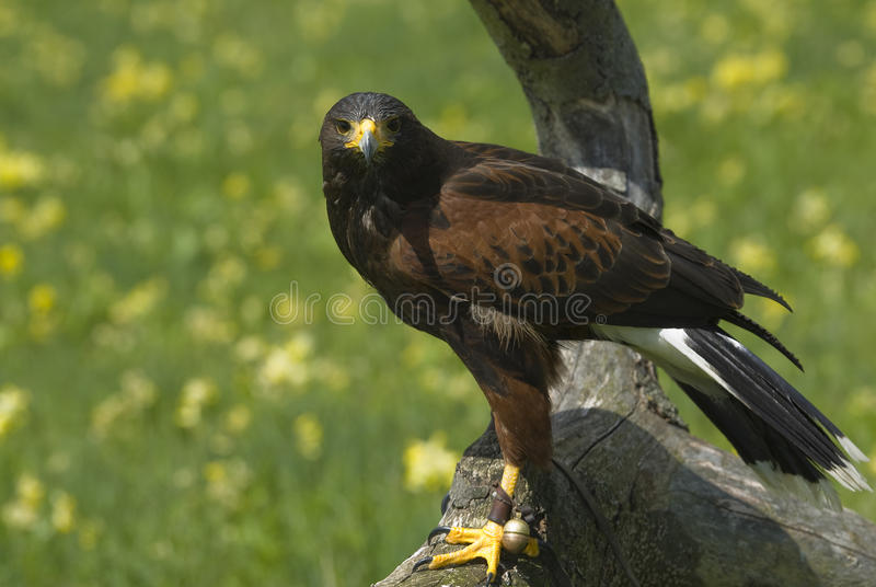 Download Harris hawk on a tree. stock photo. Image of hobby, wings - 24827260