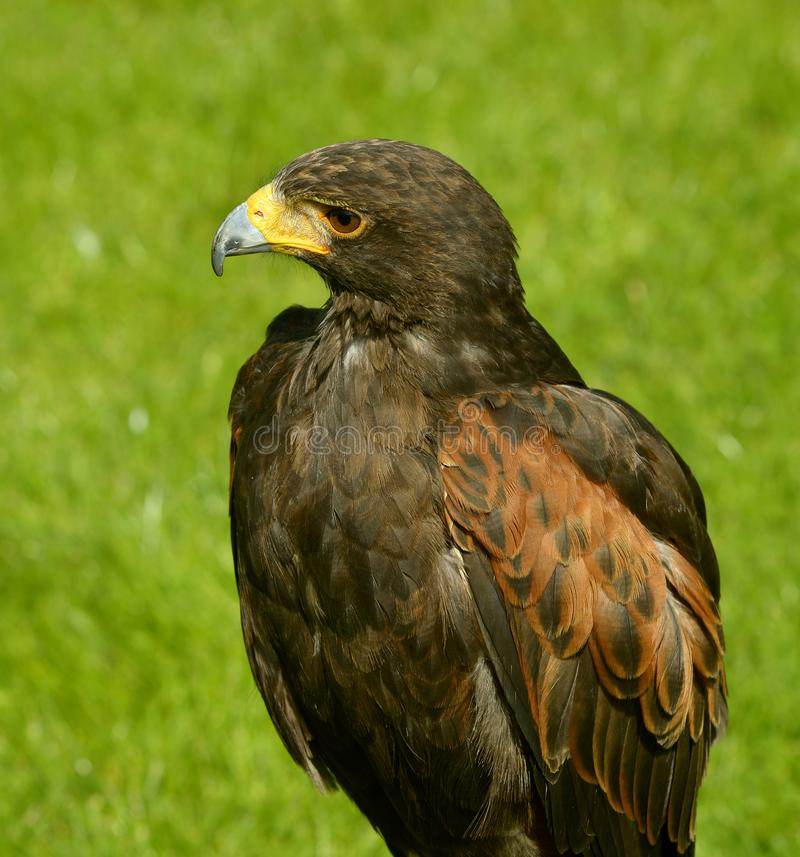 Harris Hawk fotografie stock