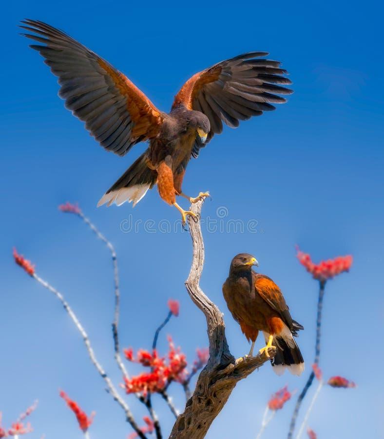 Harris Hawks på Ocotillofilialer royaltyfri bild