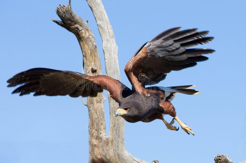 Harris jastrzębia latanie w pustyni fotografia stock