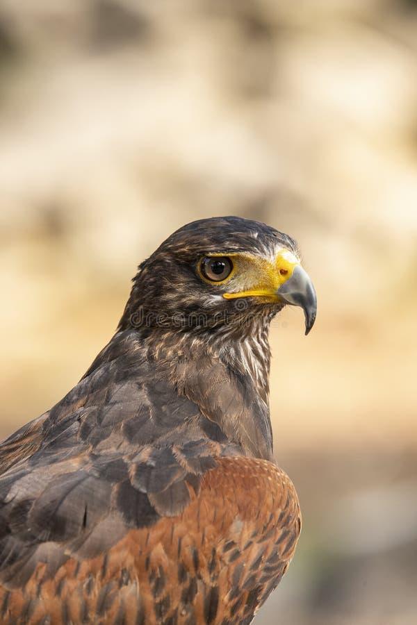 harris jastrzębia parabuteo unicinctus módl się ptak zdjęcie stock