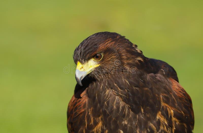 Harris jastrzębia Parabuteo unicinctus ptak zdobycz zdjęcia royalty free
