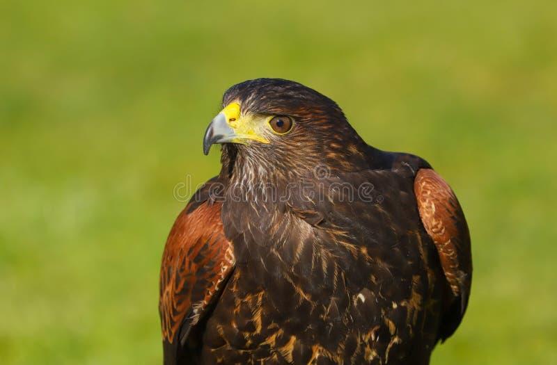 Harris jastrzębia Parabuteo unicinctus ptak zdobycz zdjęcie royalty free