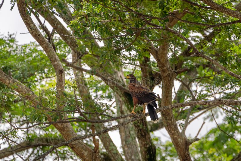 Harris' s-hök ( Parabuteo unicinctus) i Puntarenas Costa Rica arkivbilder