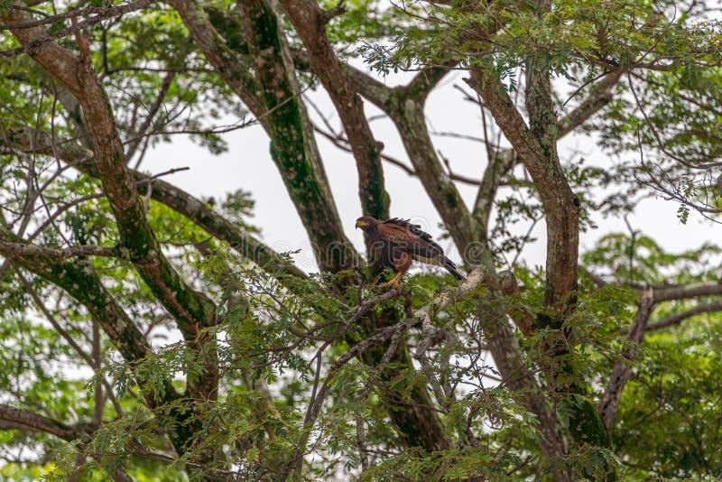 Harris' s-hök ( Parabuteo unicinctus) i Puntarenas Costa Rica arkivfoton